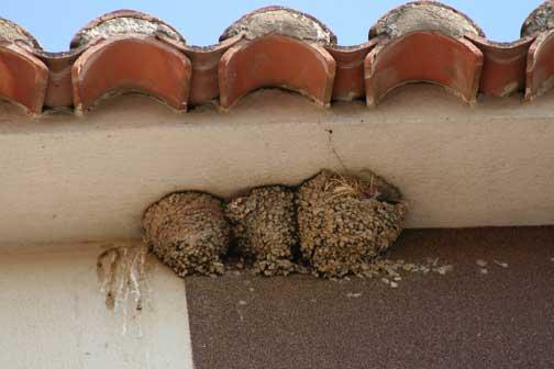 Los nidos de golondrinas cada vez son más difíciles de ver