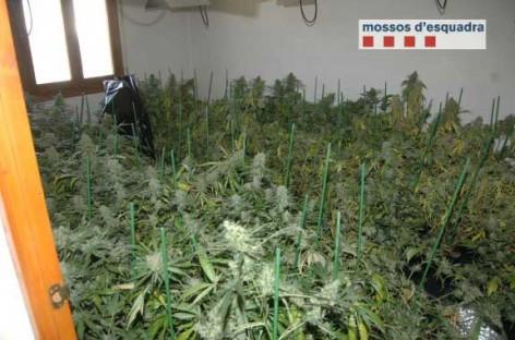 Los Mossos descubren por casualidad una plantación de marihuana en la Roca