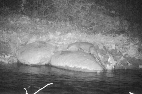 Detectado un ejemplar de nutria en el río Tenes, en Lliçà d'Amunt