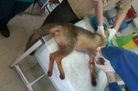 Los Agents Rurals investigan el uso de cepos ilegales para cazar en el Montseny