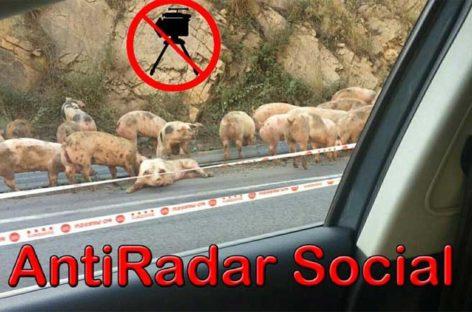 Problemas en la C-17 en la Garriga por un accidente de un camión cargado de cerdos