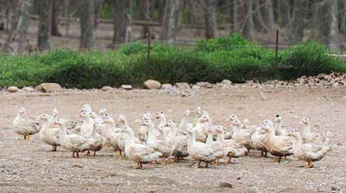 Ordenan el sacrificio de 380 patos de una granja de Lliçà d'Amunt al detectar gripe aviaria