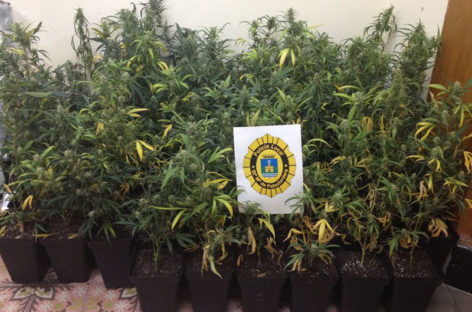 La policía de Palautordera decomisa 76 plantas de marihuana