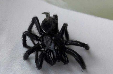 Los agentes rurales localizan varios ejemplares de Araña Negra en una zona rural de Canovelles