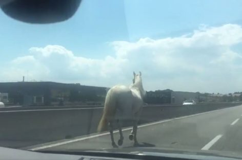 Un caballo suelto sorprende a los conductores de la C-17 a la altura de Montcada