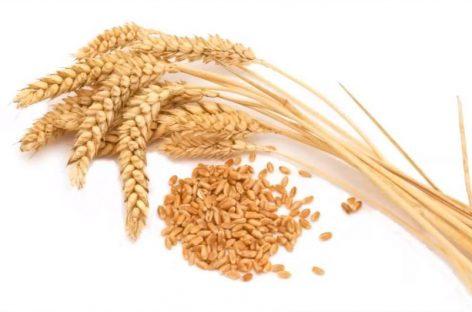 Una vecina de Granollers condenada a 15 meses de prisión por vender cebada sin permiso
