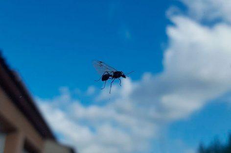 El Ayuntamiento de Montornès calma a los vecinos por la gran presencia de enjambres de hormigas voladoras