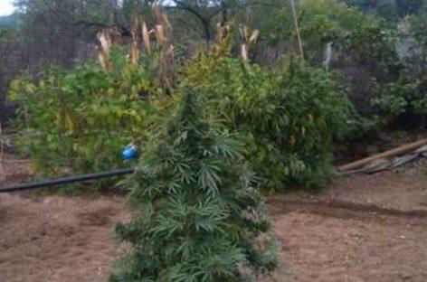 Denuncian a un anciano de 70 años La Garriga por cultivar marihuana en su huerto