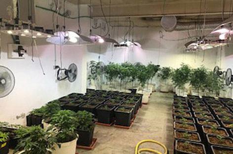Localizan una plantación de marihuana en una nave industrial de la Llagosta