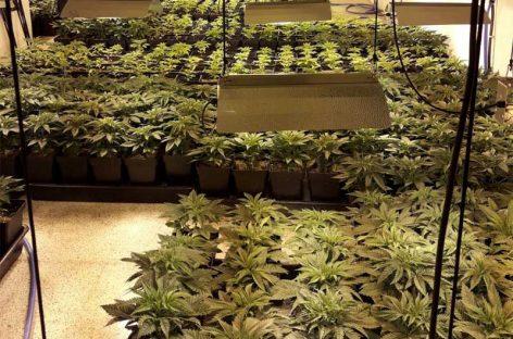 Guardia Civil y policía de Canovelles desmantelan una plantación ilegal de marihuana