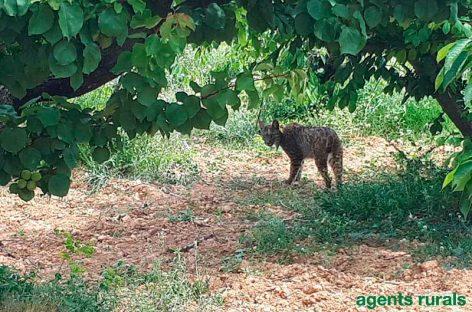 Un lince ibérico que vendría de Huelva es localizado en las proximidades de Barcelona