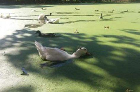 El Ayuntamiento de la Roca pide que no se alimente a los animales de la bassa dels ànecs
