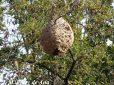 Bigues i Riells ya ha detectado cinco nidos de avispa asiática