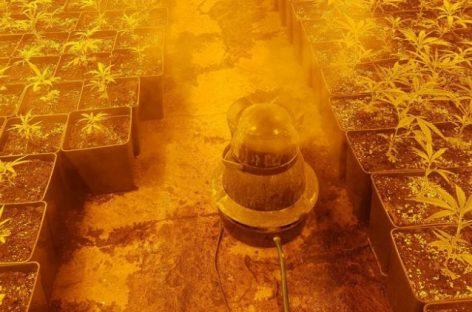 Intervenida una nueva plantación de marihuana en Sant Celoni