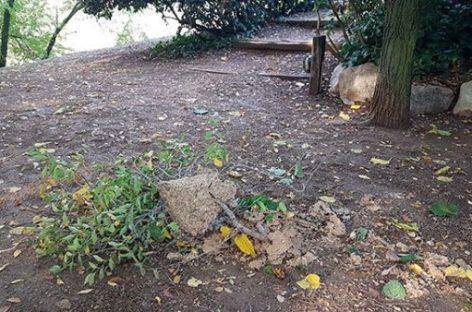 Sant Antoni retira un nido de avispa asiática de grandes dimensiones en un parque municipal