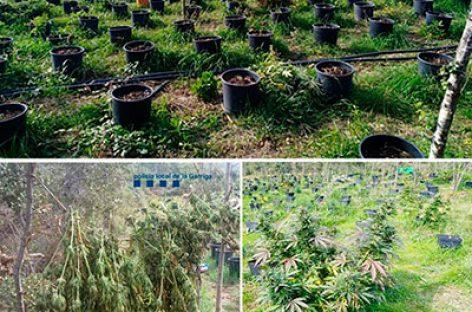 La policía de la Garriga localiza una plantación de marihuana escondida en un bosque del municipio