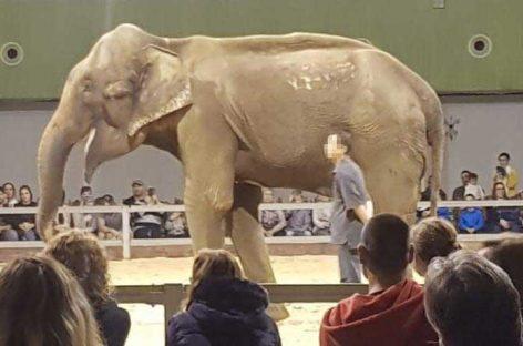 FAADA denuncia que la elefanta de Caldes vive ahora en «condiciones lamentables» en un zoo de Sevilla