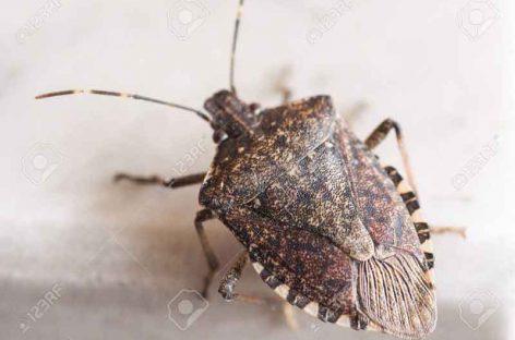 La Generalitat alerta de una plaga de molestos insectos: el chinche apestoso marrón